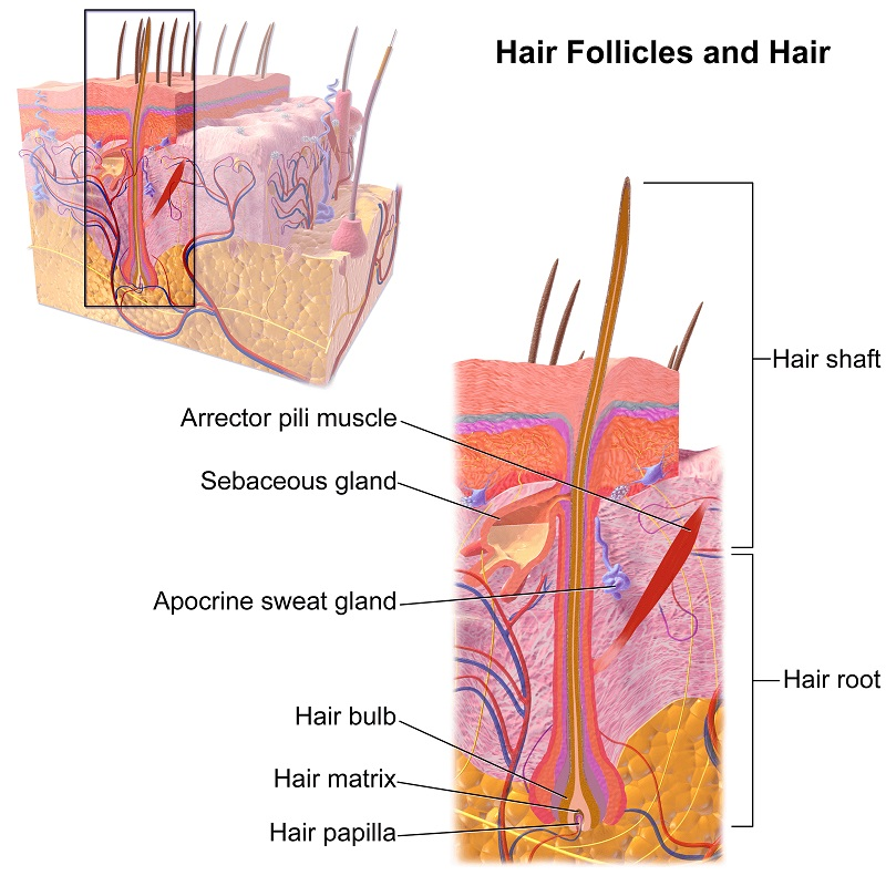 IPL hair removal - how it works
